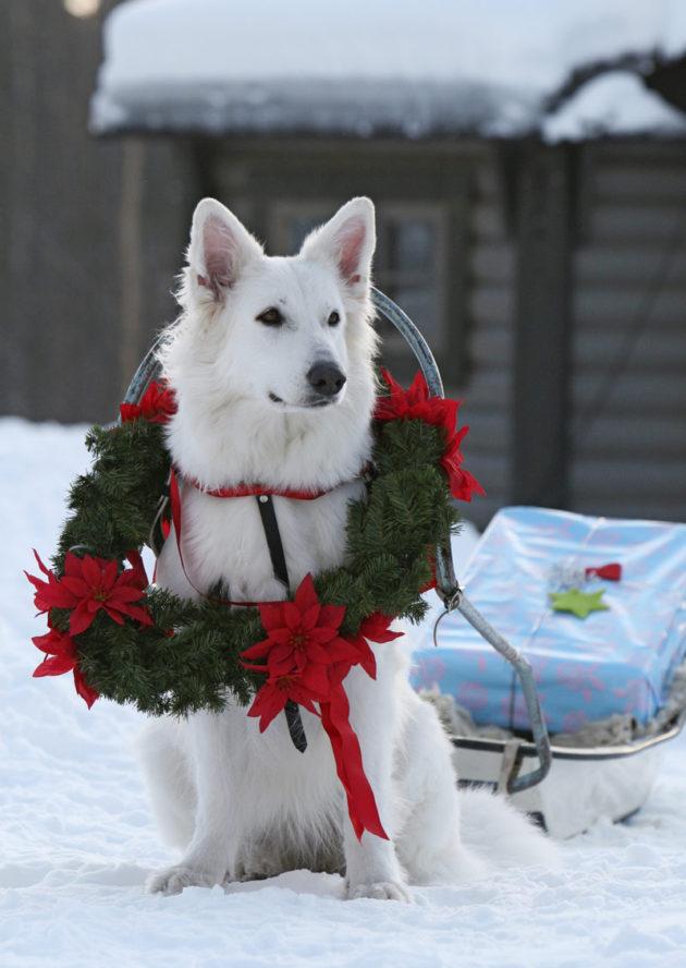 koira-joulu