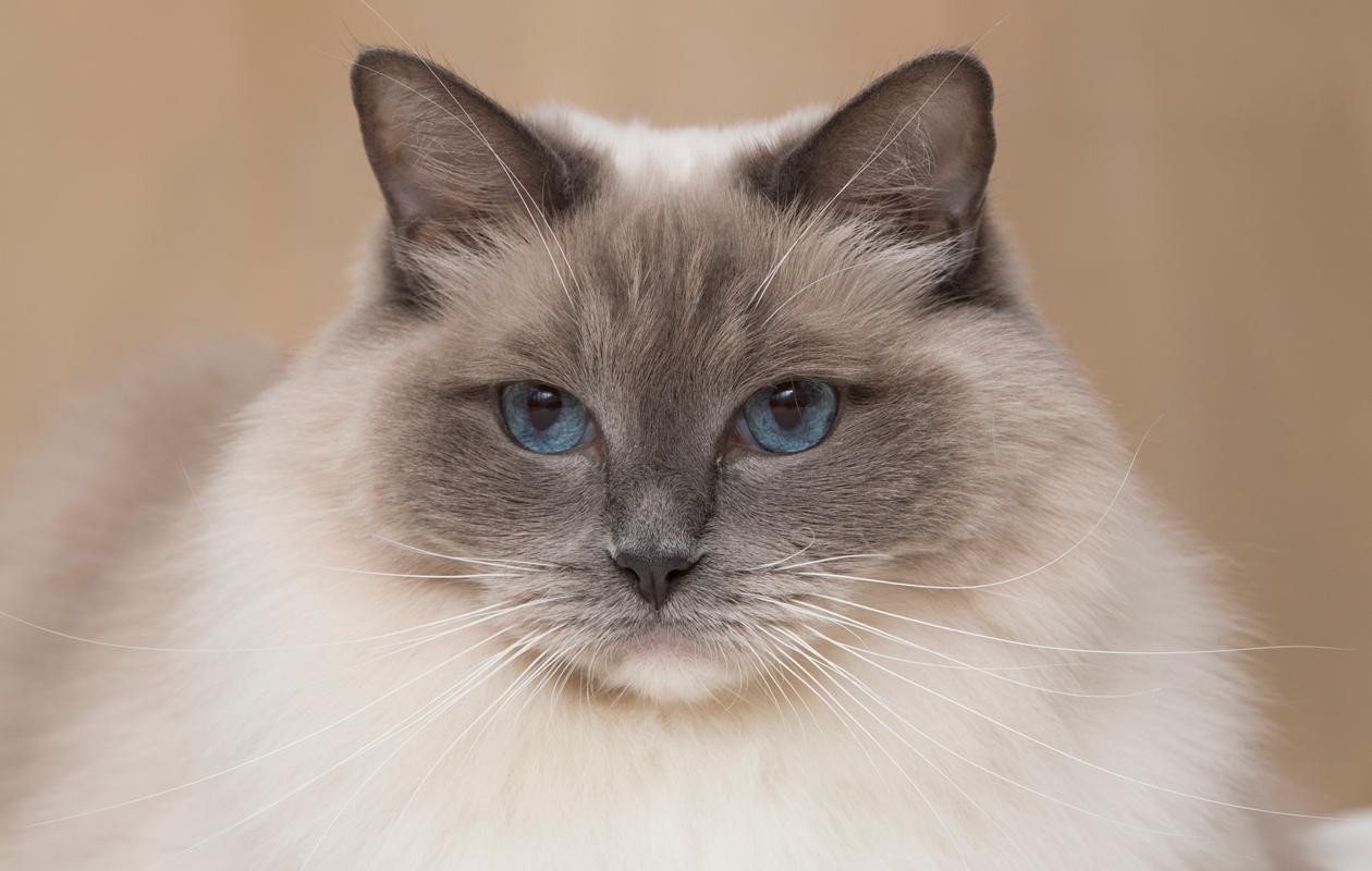 Ragdoll-kissa Aino