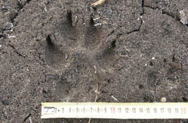 Suden jäljen erottaa koiran jäljestä voimakkaammista ja pidemmistä kynnenpainaumista.