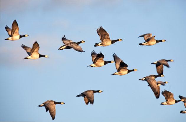 linnut-kurjet