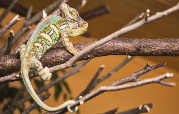 Kameleontti muuttaa väriään mielialansa mukaan.