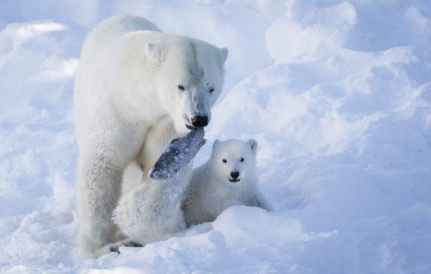 Ranzo oli ensimmäinen Suomessa syntynyt ja selvinnyt jääkarhunpentu.