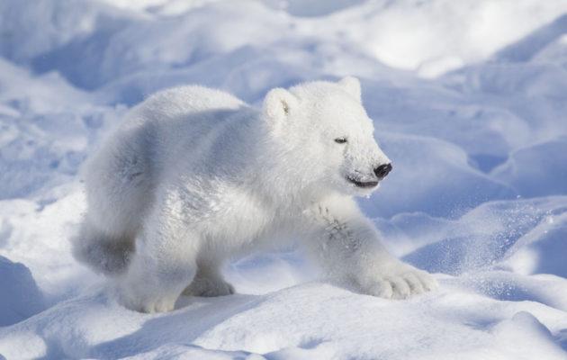 Uuden jääkarhunpennun isoveli Ranzo oli pentuna näin suloinen otus.