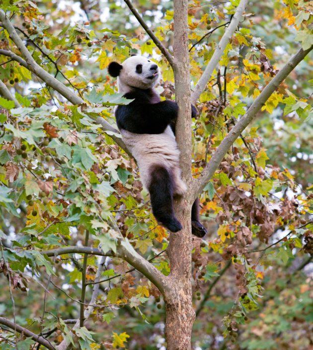Bambu on pandan herkkua.