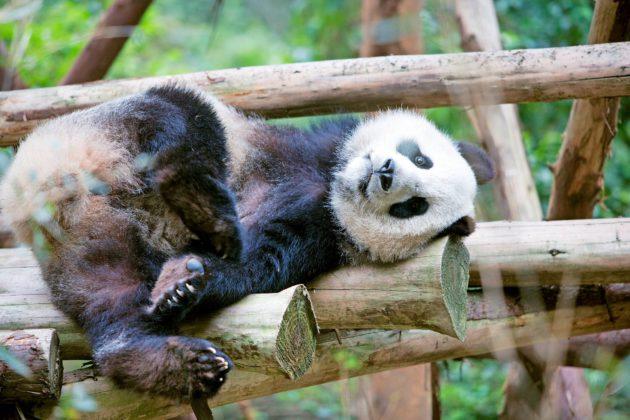 Pandat ovat tottuneet neljään vuodenaikaan.