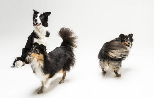 Bordercollie löytyy fiksuimmat koirarodut -listauksen kärjestä.