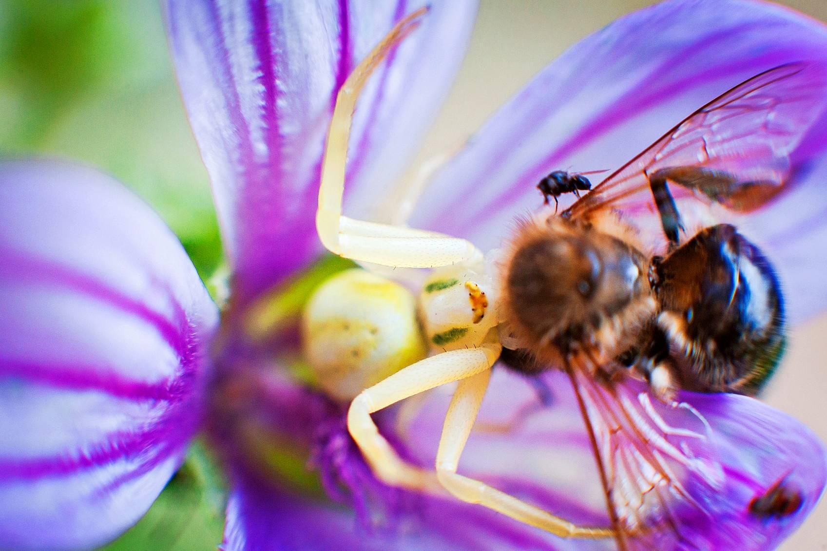 kukkahämähäkki
