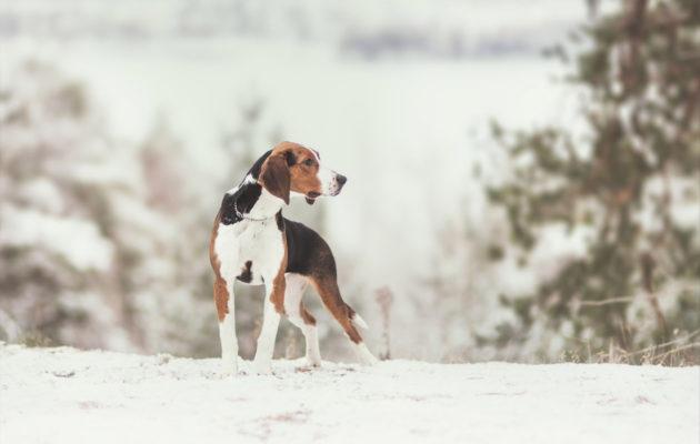 Suosituimmat koirarodut: suomenajokoira