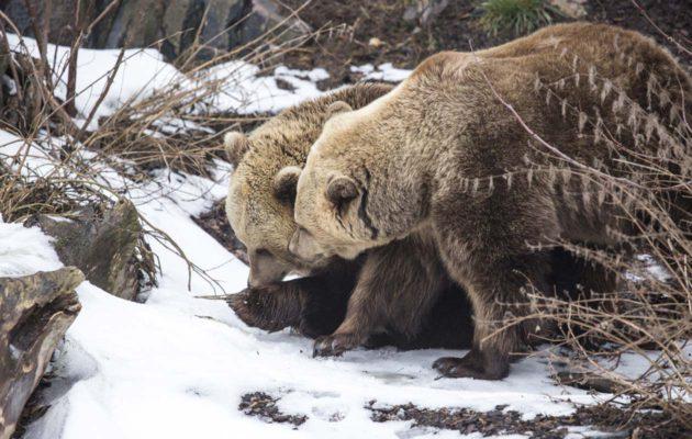 Korkeasaaren karhut tutkailevat keväistä tarhaansa.