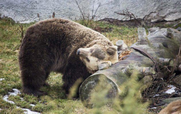 Korkeasaaren karhut heräsivät poikkeuksellisen lämpimään helmikuuhun.