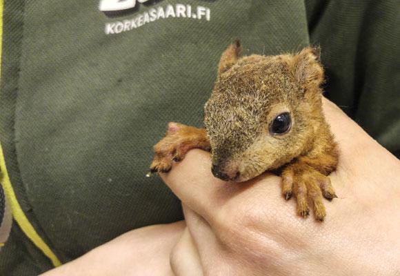 Oravanpoikanen juoksi grilliin, jolloin siltä kärventyi turkki. Nyt sitä hoidetaan Korkeasaaren villieläintarhassa.