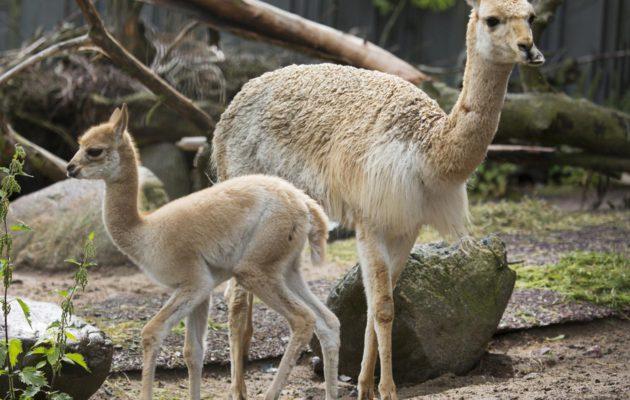 Vikunja kuuluu kamelieläimiin.