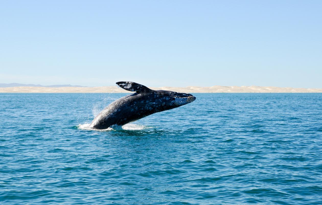 harmaavalas