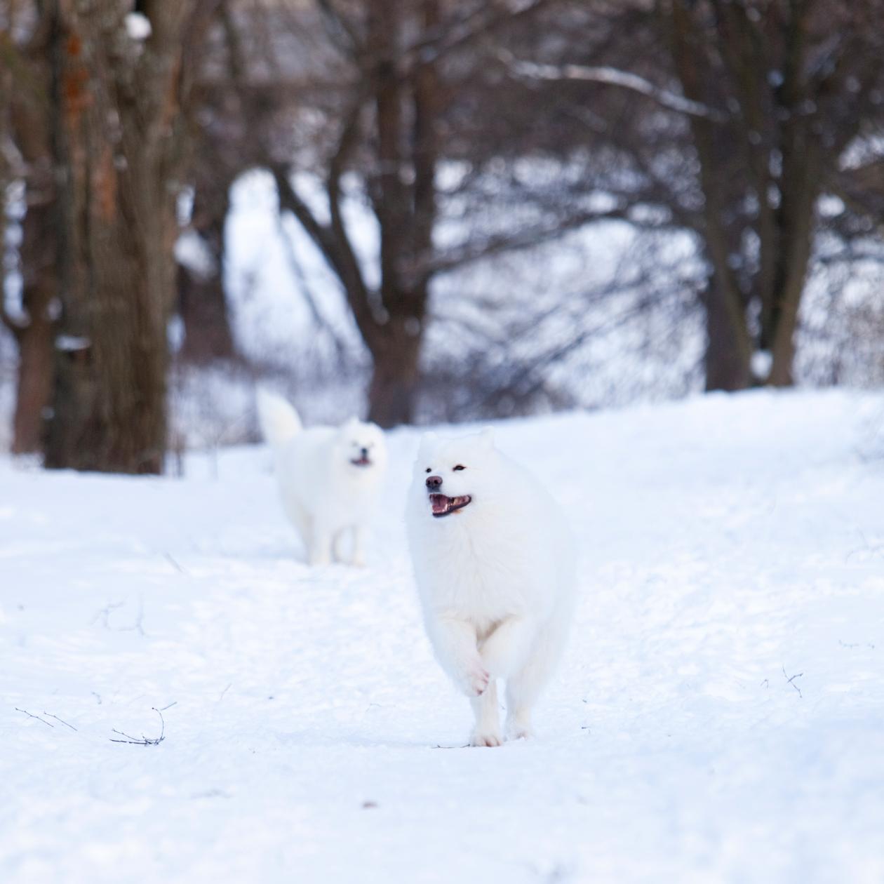 kaksi iloista samojedia lumisessa maisemassa