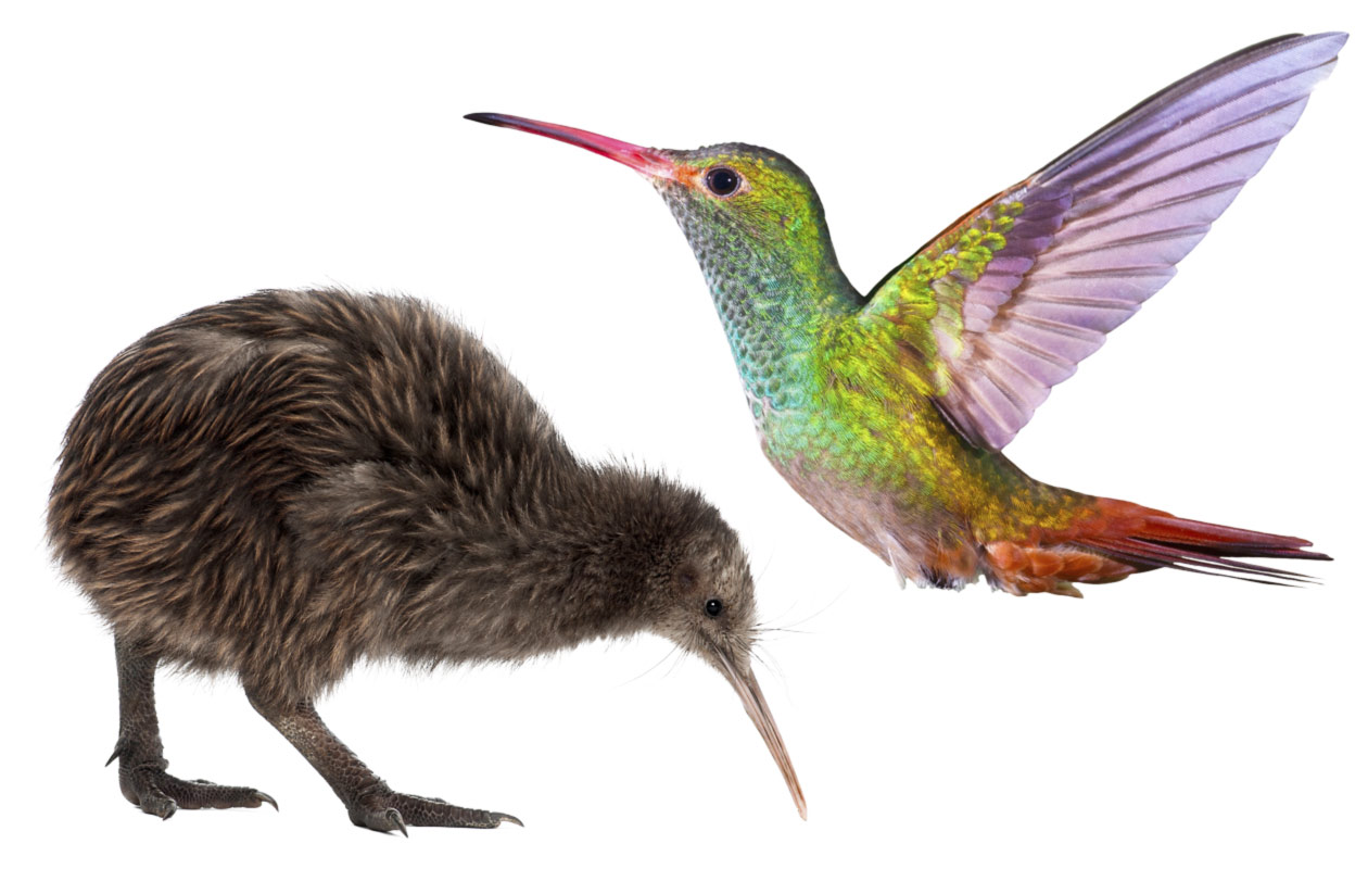 kiivi ja kolibri