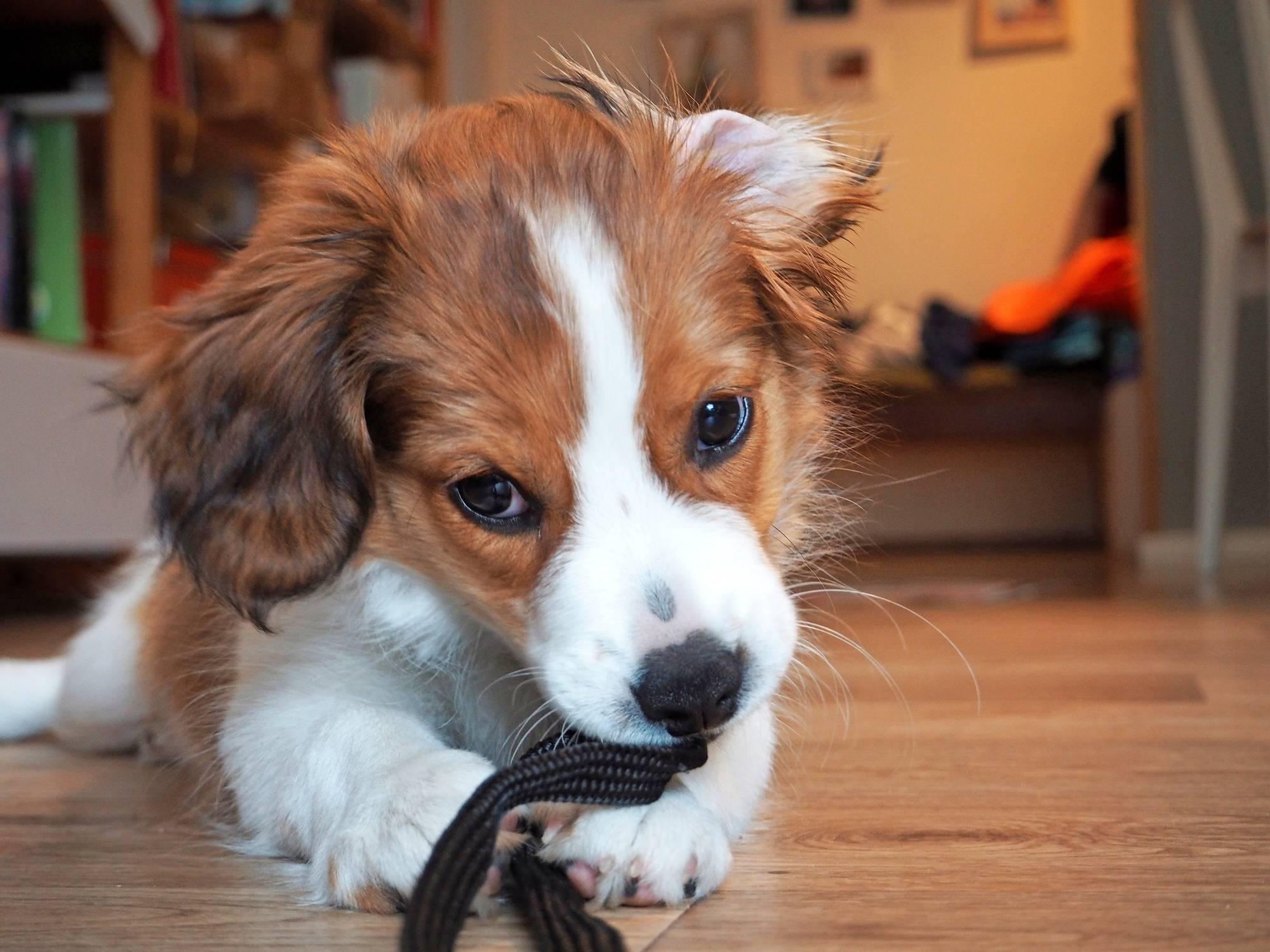 koiranpentu jyrsii narua