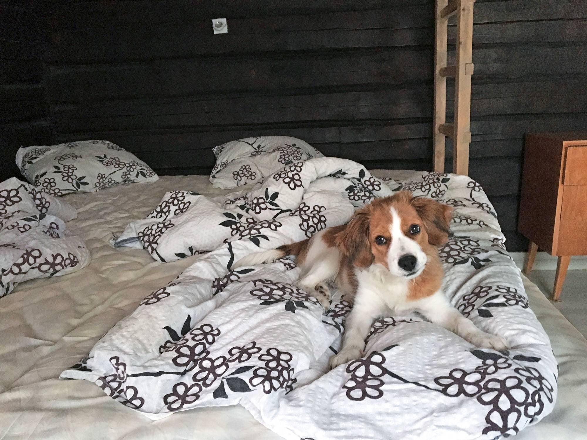 Masa-koira sängyllä