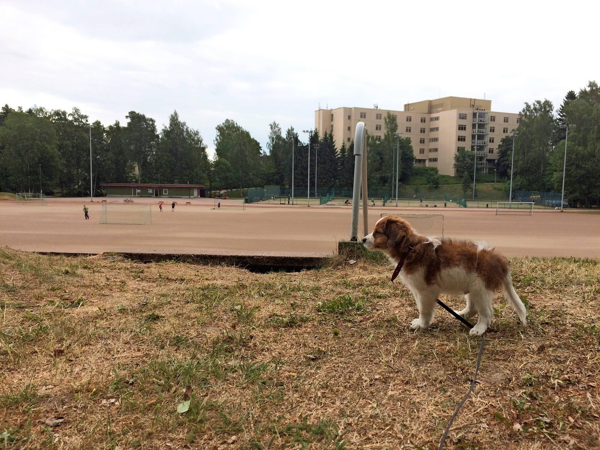 Masa-koira urheilukentän laidalla