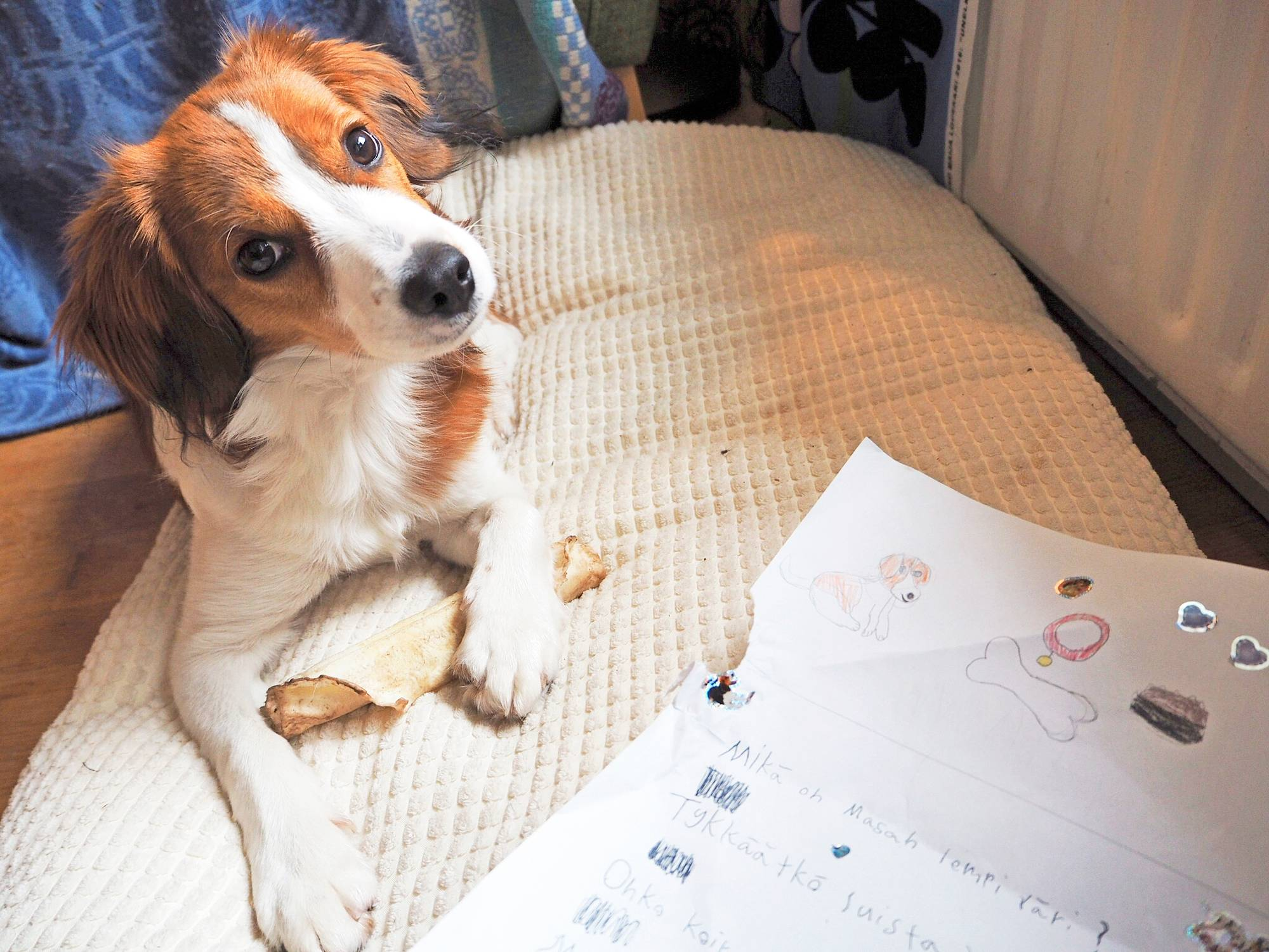 Kooikerhondje Masa on saanut lukijalta kirjeen