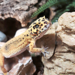 6. Dalamar-gekko