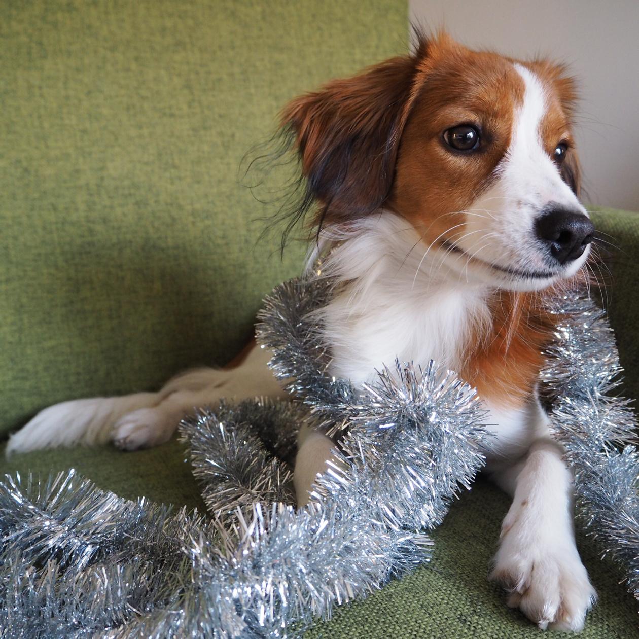 Masa-koira ja kuusenkoristenauha