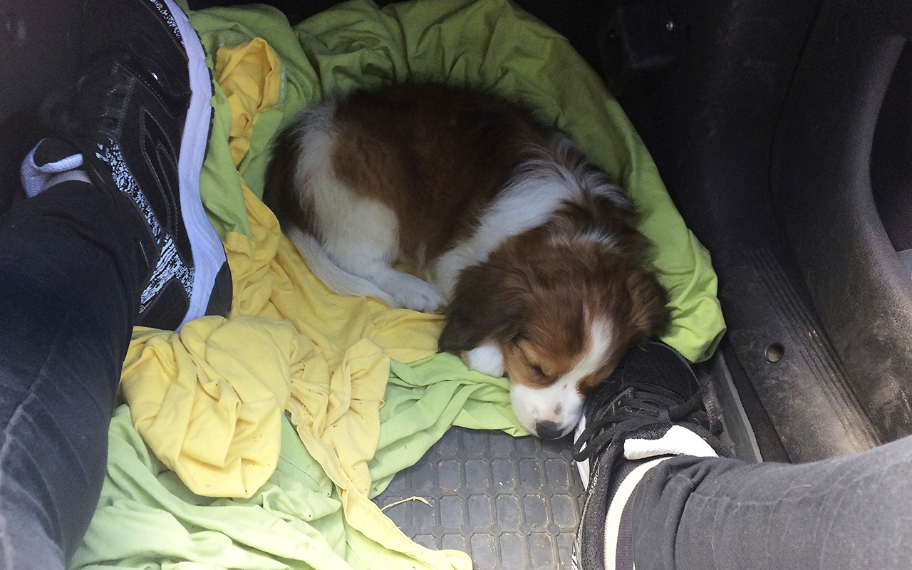 koiranpentu nukkuu