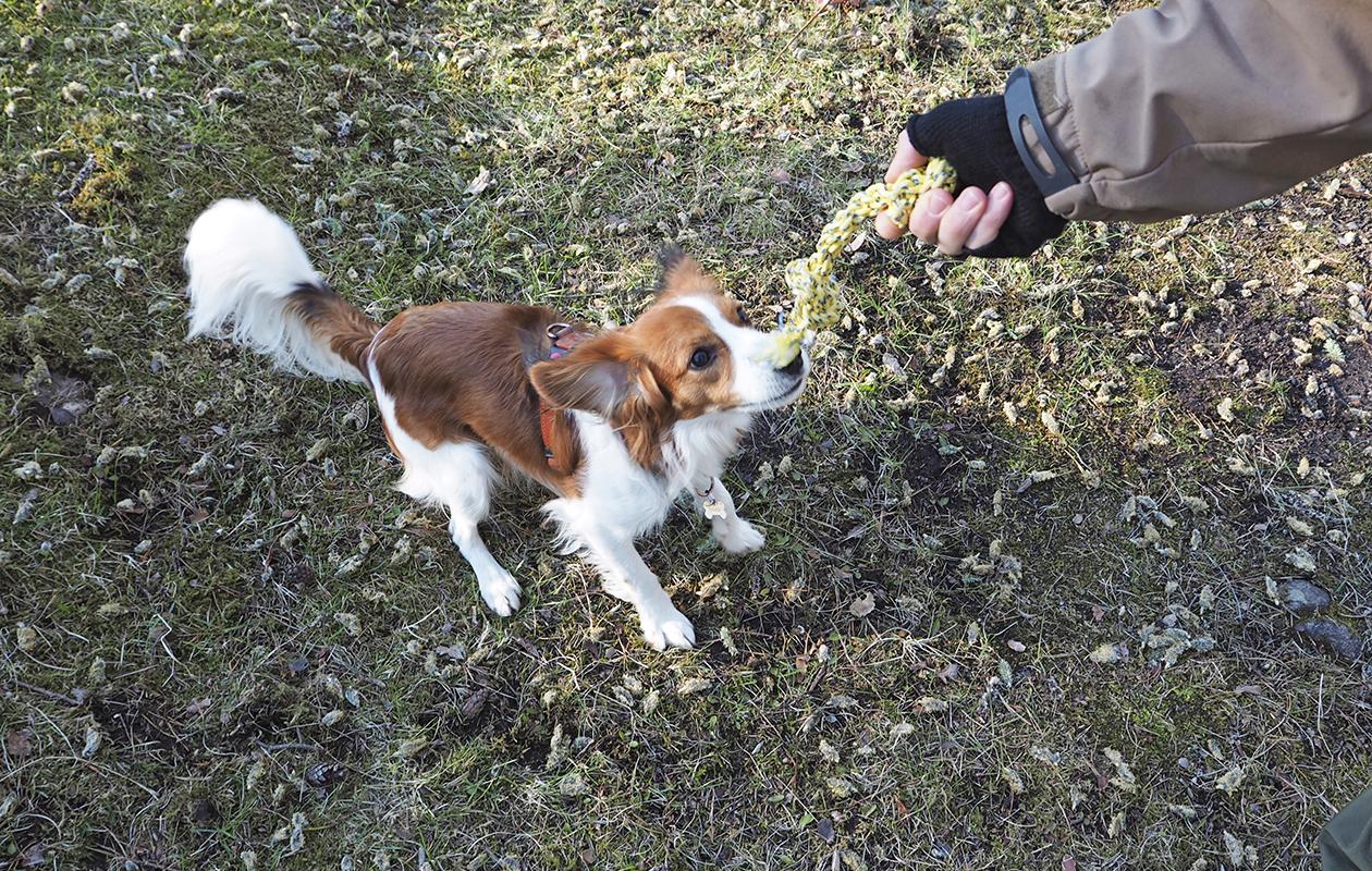 koira vetää lelua