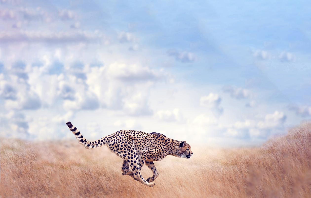 Gepardi juoksee