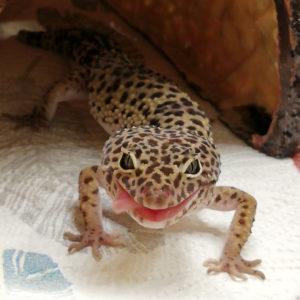 6. Lola-gekko