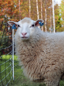 1. Usva-lammas