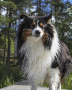 Jasu-koira