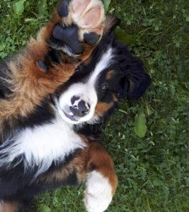 Tahvo-koira