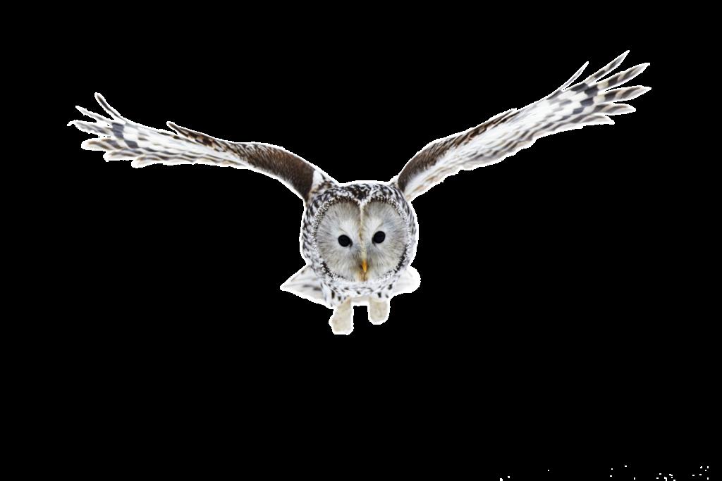Kaikilla pöllöillä on hyvä kuulo, mutta lapinpöllön kuulo on erityisen tarkka.