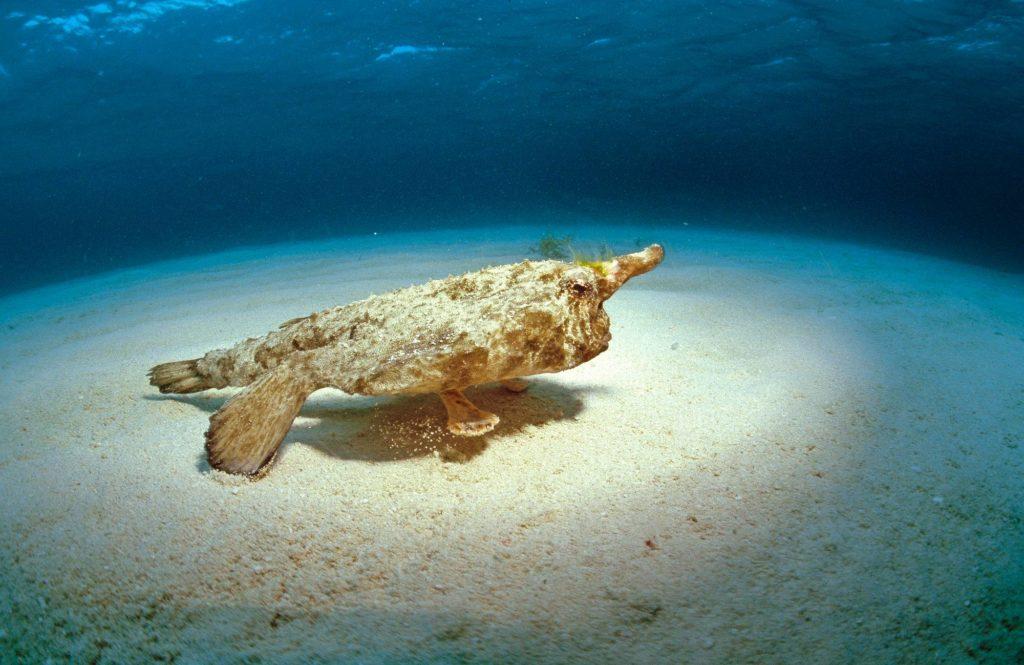 Merenpohjassa viihtyvä nenäpeikkokrotti kävelee mieluummin kuin ui.